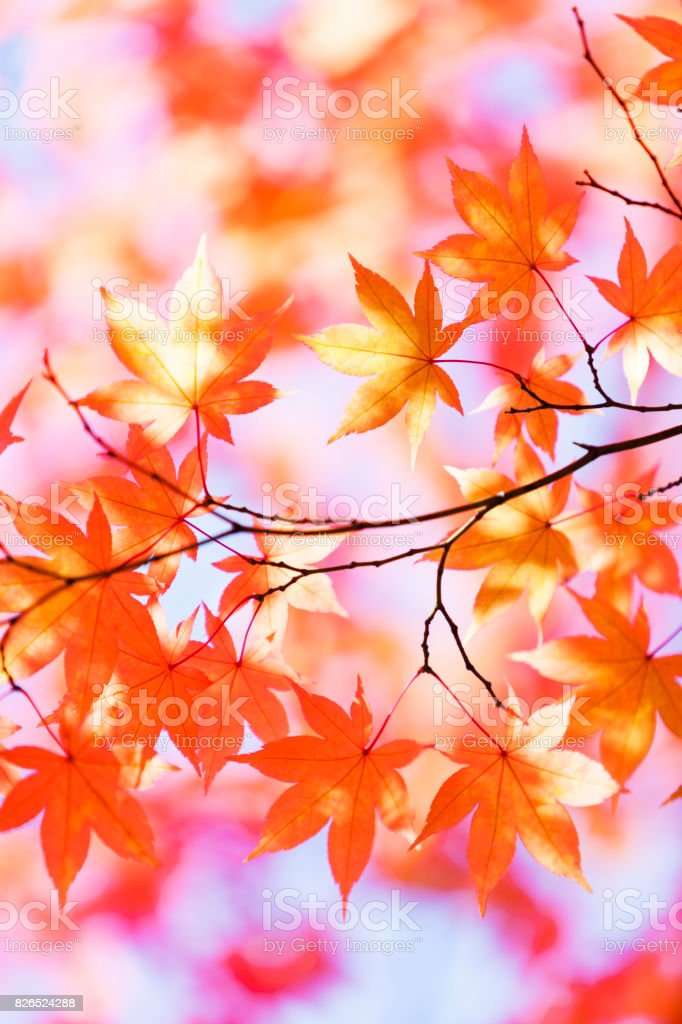 Autumn Orange Leaves With Morning Sunlight stock photo