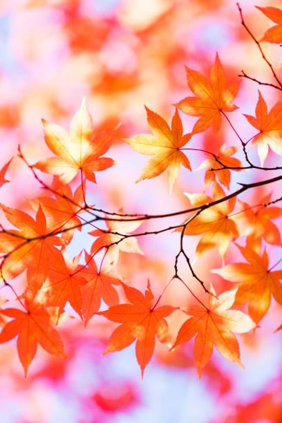 orange automne feuilles avec soleil du matin - feuillage automnal photos et images de collection