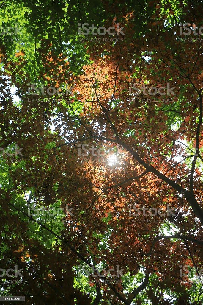 autumn orange maple leaves royalty-free stock photo