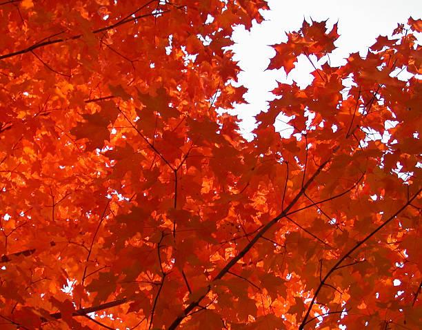 Autumn Orange Maples stock photo