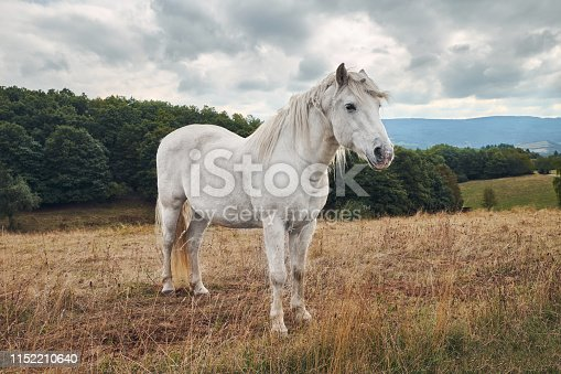White horse standing in a agriculture field with dry grass on a cloudy weather