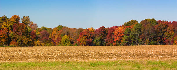 Autumn Panoramic Tree Line Along Cornfield Against Clear Blue Sky Panoramic view of autumn tree line along a farms cornfield. treelined stock pictures, royalty-free photos & images