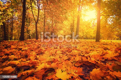 Autumn park. Autumn forest. Fall scene. Footpath covered by yellow maple foliage. Sun shines through trees in park. Warm bright autumn day.