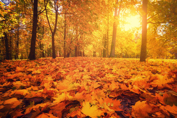 Autumn park. Autumn forest. Autumn park. Autumn forest. Fall scene. Footpath covered by yellow maple foliage. Sun shines through trees in park. Warm bright autumn day. fall background stock pictures, royalty-free photos & images