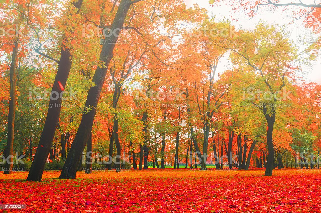 Autumn foggy nature - red and orange autumn trees in city park in...