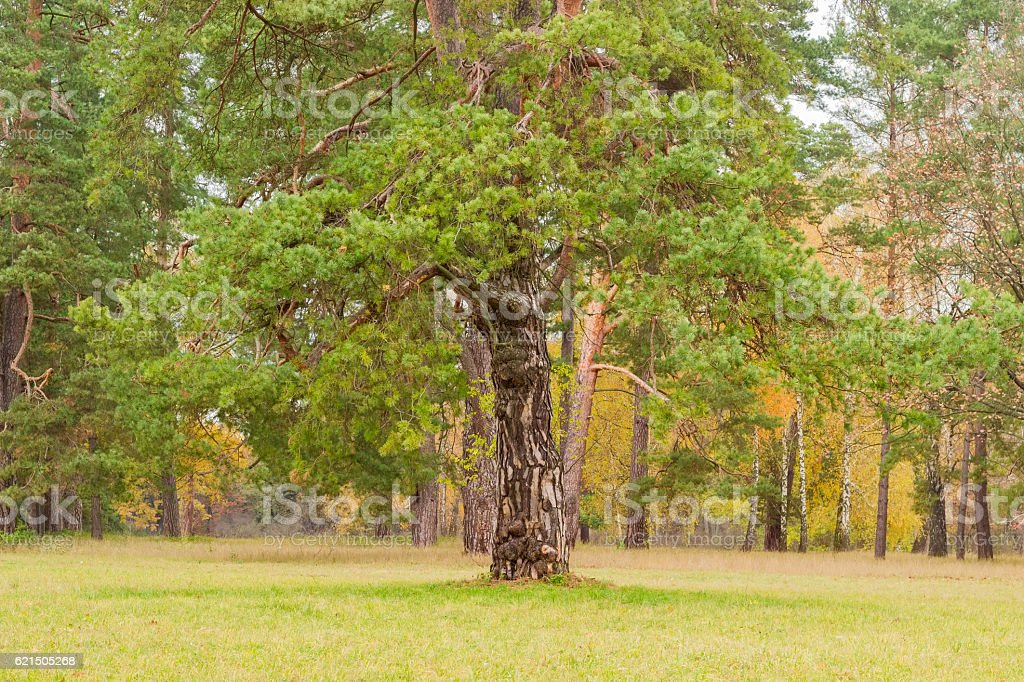 Autumn park with old pine tree in the foreground foto stock royalty-free