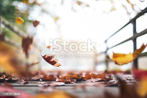 Isolated maple leaves on the white background with copy space