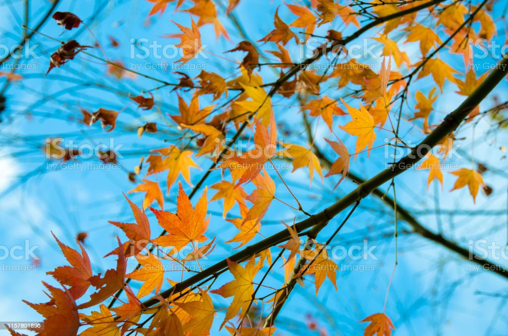autumn beautiful view to the orange maple leaves and blue sky Autumn Stock Photo
