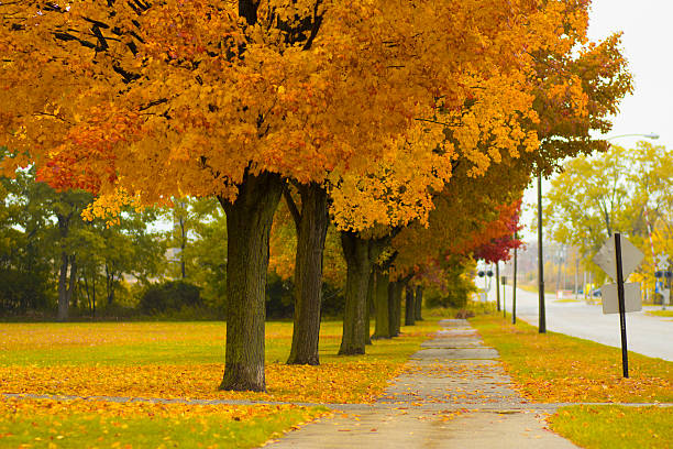 Autumn Beautiful foliage from the changing trees in ZIon, IL. sycamore tree stock pictures, royalty-free photos & images