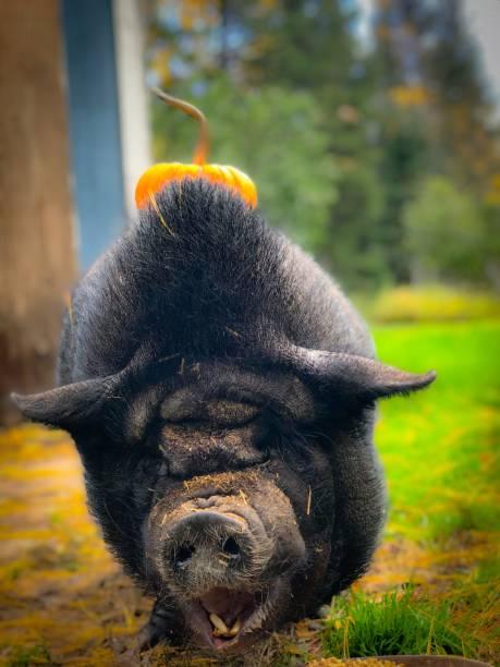 herbst-schwein lächeln - pig ugly stock-fotos und bilder