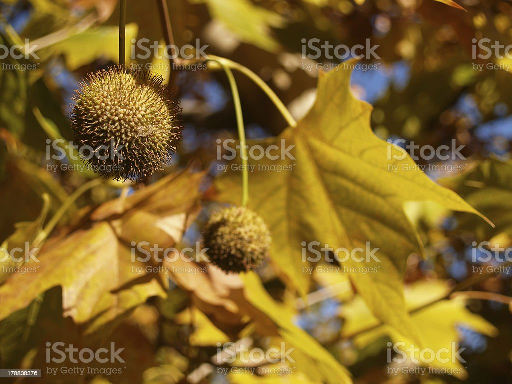 Autumn platan leaves with seeds. royalty-free stock photo