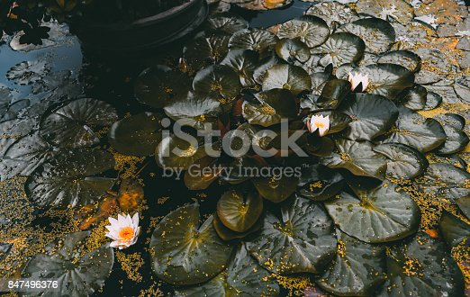 istock Autumn pool with blossoming spatterdocks 847496376
