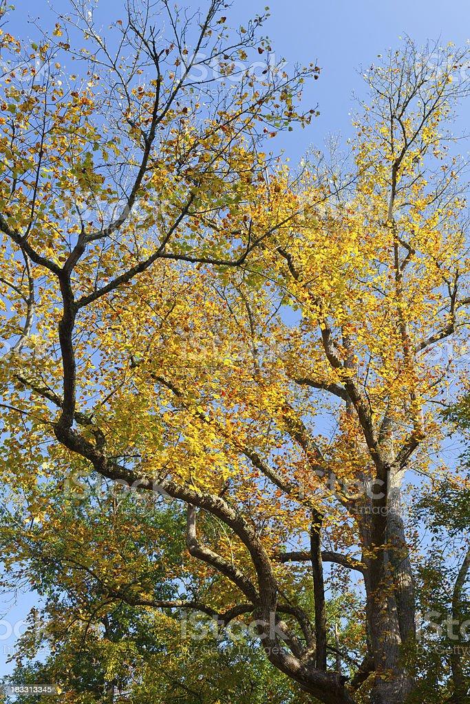 Autumn Poplar royalty-free stock photo