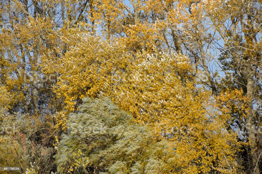Autumn poplar trees shed their leaves. Fall in nature stock photo
