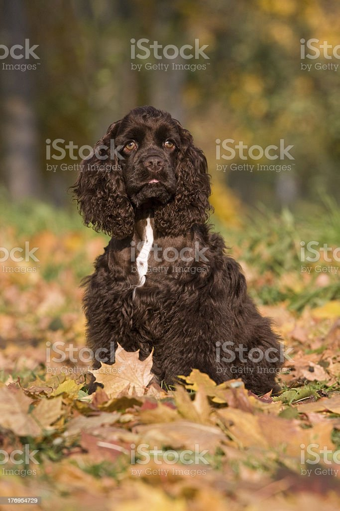 Autumn portrait of american cocker spaniel stock photo