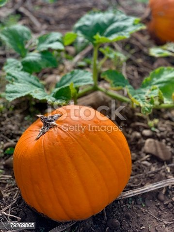 Ripe pumpkins ready for harvesting in a pumpkin patch on a brisk autumn day.