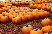 Large selection of pumpkins and corn stalks
