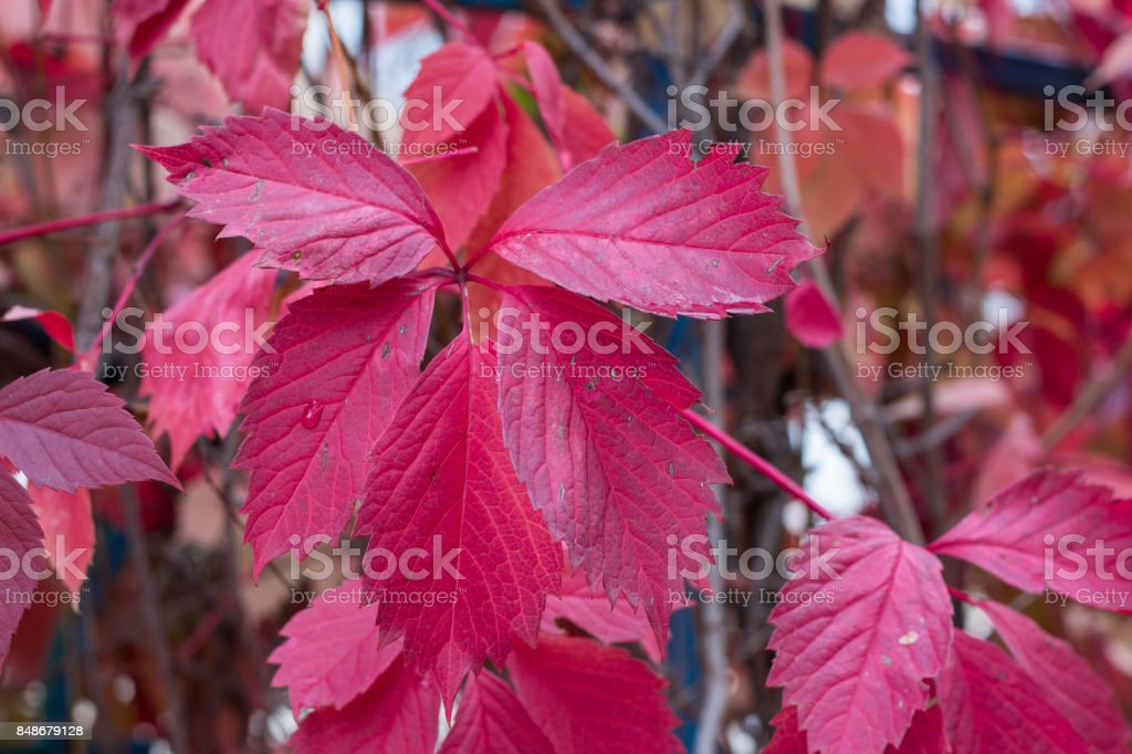 Autumn purple, red, green leaves and berries of trees stock photo