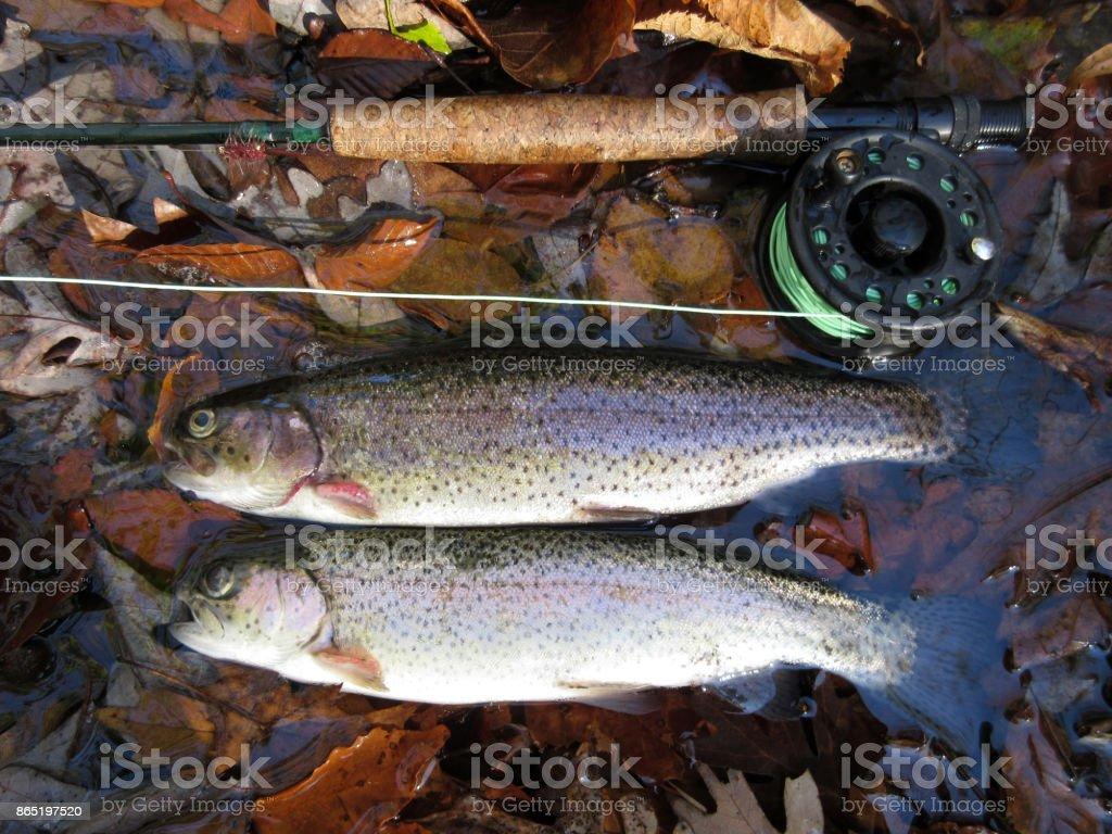 Autumn Rainbow Trout stock photo