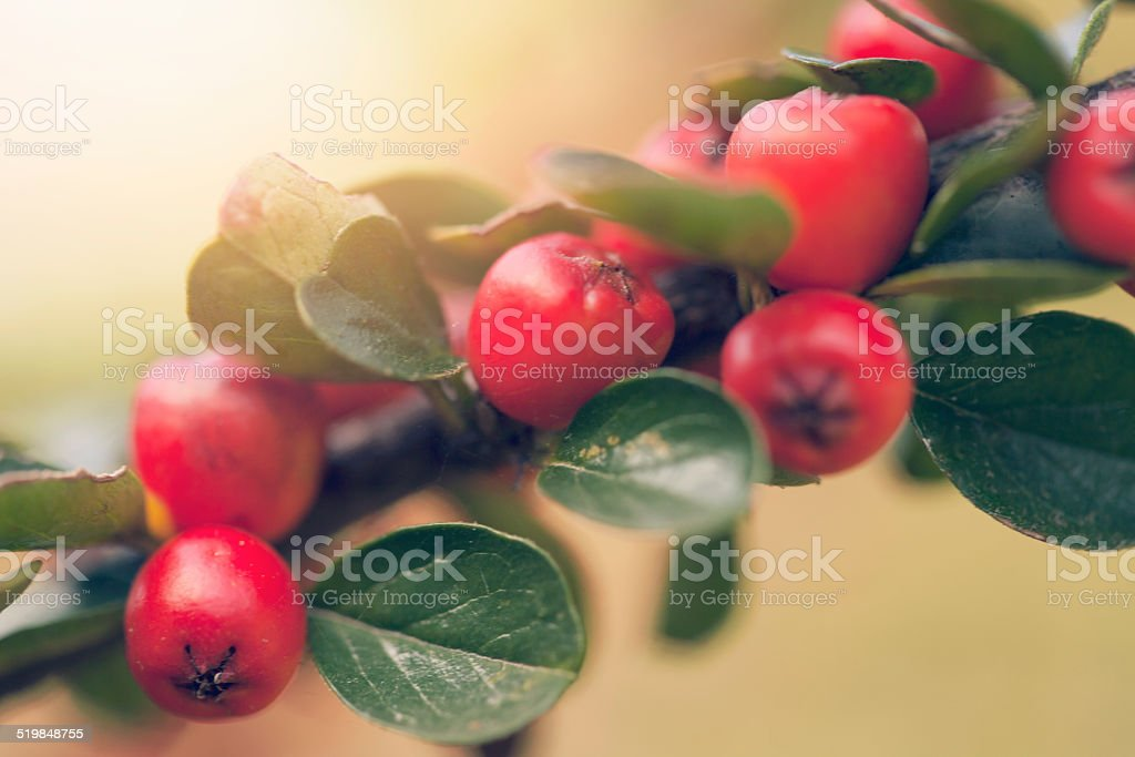 Automne fruits rouges branch - Photo