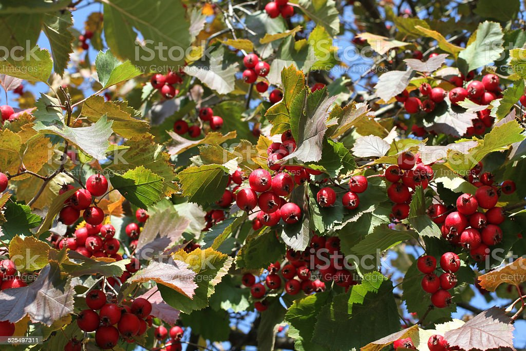 Autumn Red Berries On Irga Tree Stock Photo Download Image Now