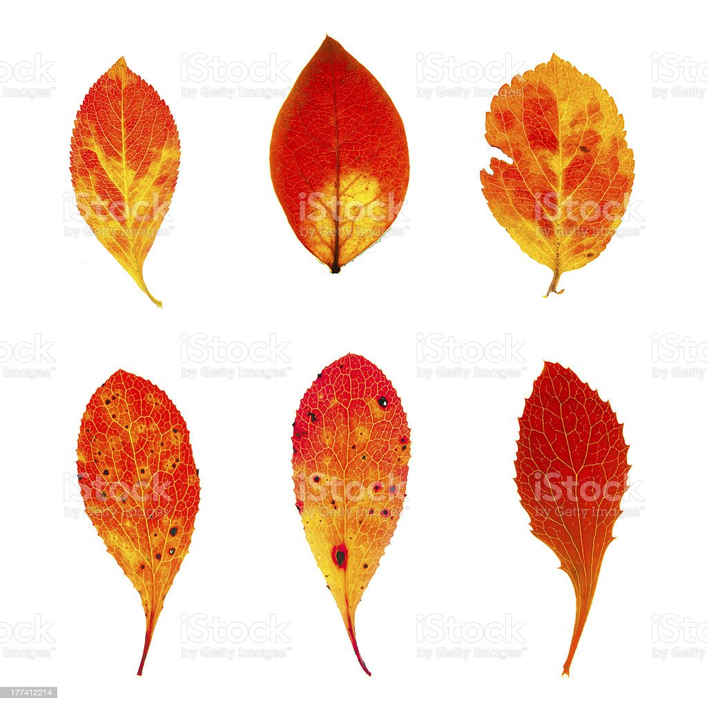 Autumn red chokeberry leaves collection stock photo