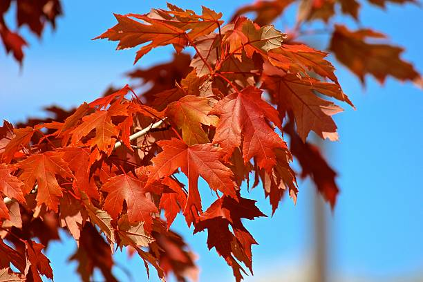Autumn red fall color tree leaves stock photo