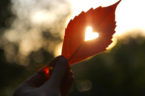 istock Autumn red leaf with cut heart in a hand 845983882