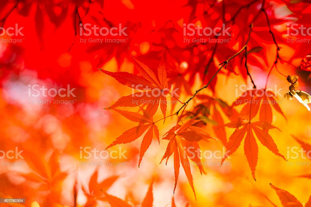 Autumn Red Leaves With Sunlight stock photo