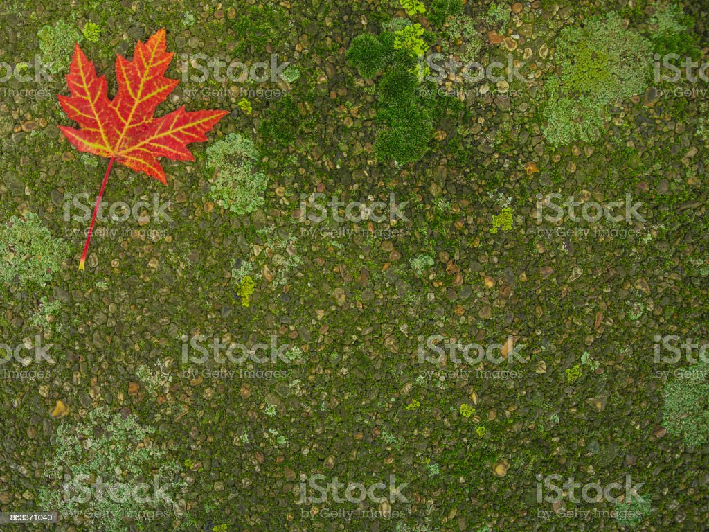 Autumn red maple leaf on the  side walk covered with moss stock photo