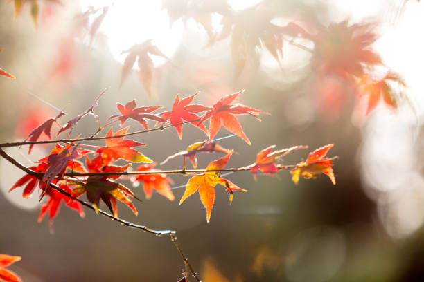 Herbst rot Ahorn Blätter Hintergrund – Foto