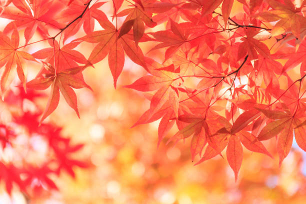 autumn red maple leaves background - maple leaf stock pictures, royalty-free photos & images