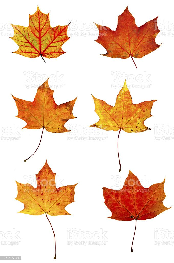 Autumn red maple leaves collection stock photo