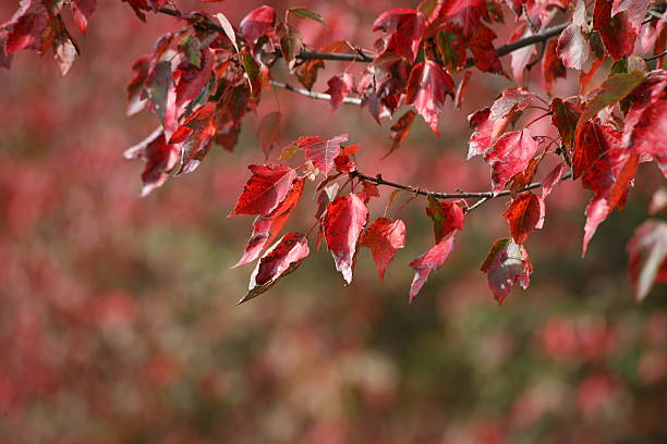 Autumn Red Maple Leaves stock photo