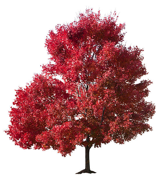 Autumn Red Maple Tree Isolated stock photo