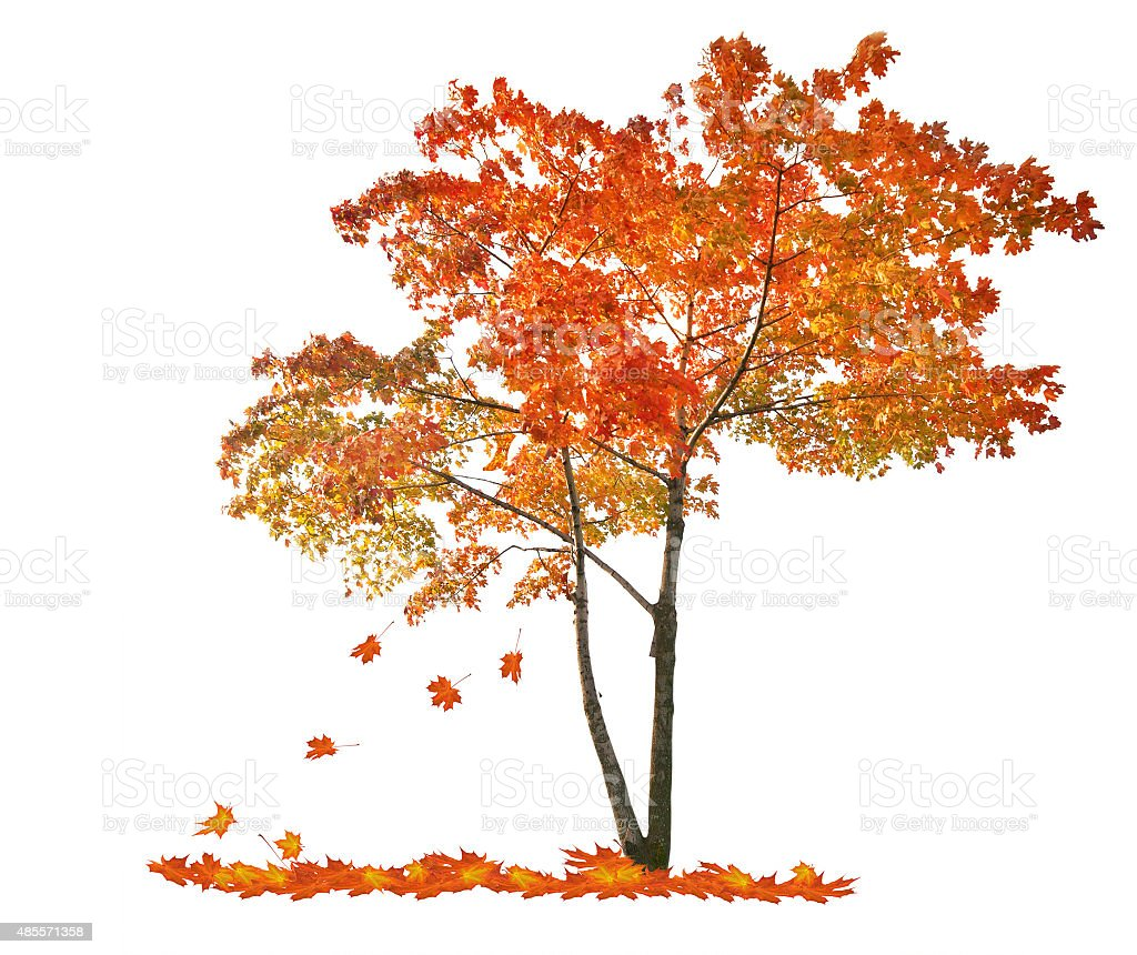 autumn red maple tree with falling leaves stock photo