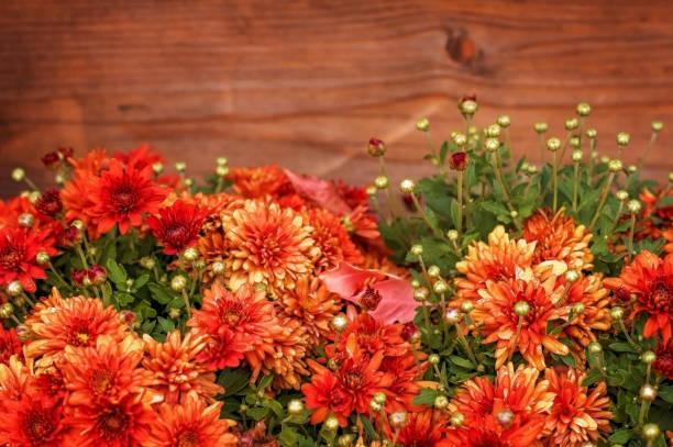 herfst rood-bruine achtergrond: rode chrysanten op houten achtergrond. - chrysant stockfoto's en -beelden