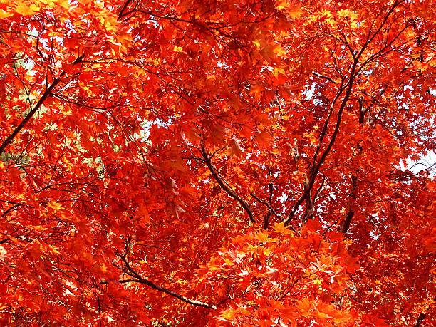 Autumn Redness stock photo