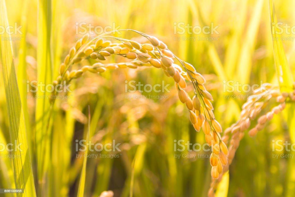Herbst Reis Ohr – Foto