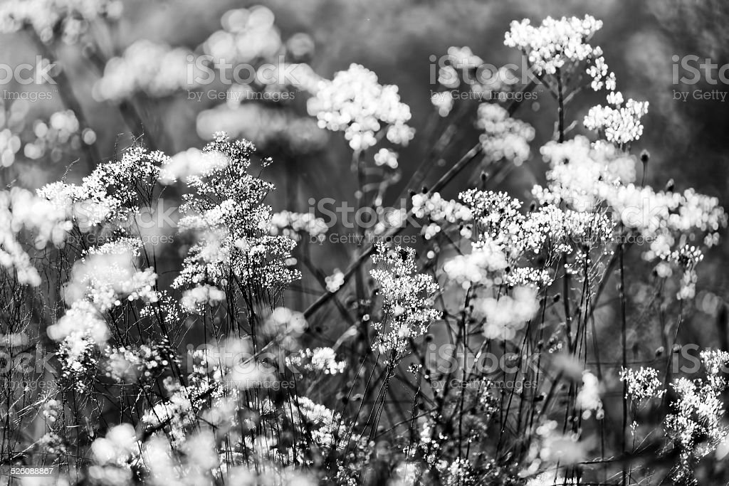 Autumn Romantic Flowering Shrubs Black And White Stock Photo