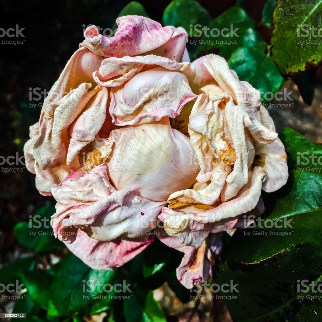 Autumn Rose stock photo
