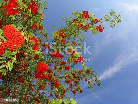 istock Autumn rowan berries ashberry. Sorbus aucuparia 620006558