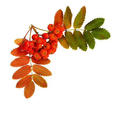 Autumn rowanberries and leaves in a corner arrangement