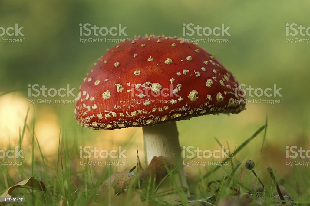 Autumn scene: toadstool in the grass royalty-free stock photo