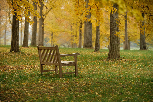 Autumn Scenic of Bench in Ginkgo Grove stock photo