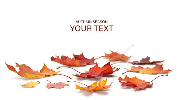 herfst seizoen concept, maple leaf geïsoleerd op witte achtergrond - japanse vallende bladeren stockfoto's en -beelden