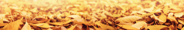 Autumn seasonal nature background with panorama of yellow fallen and picture id1169752775?b=1&k=6&m=1169752775&s=612x612&w=0&h=3bznwyugyuhgqfwg6hotvt9xivf7hucpac4hsr8lzxw=