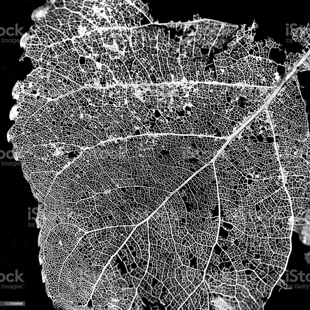 Autumn Series: (Populus leaves) b&w royalty-free stock photo