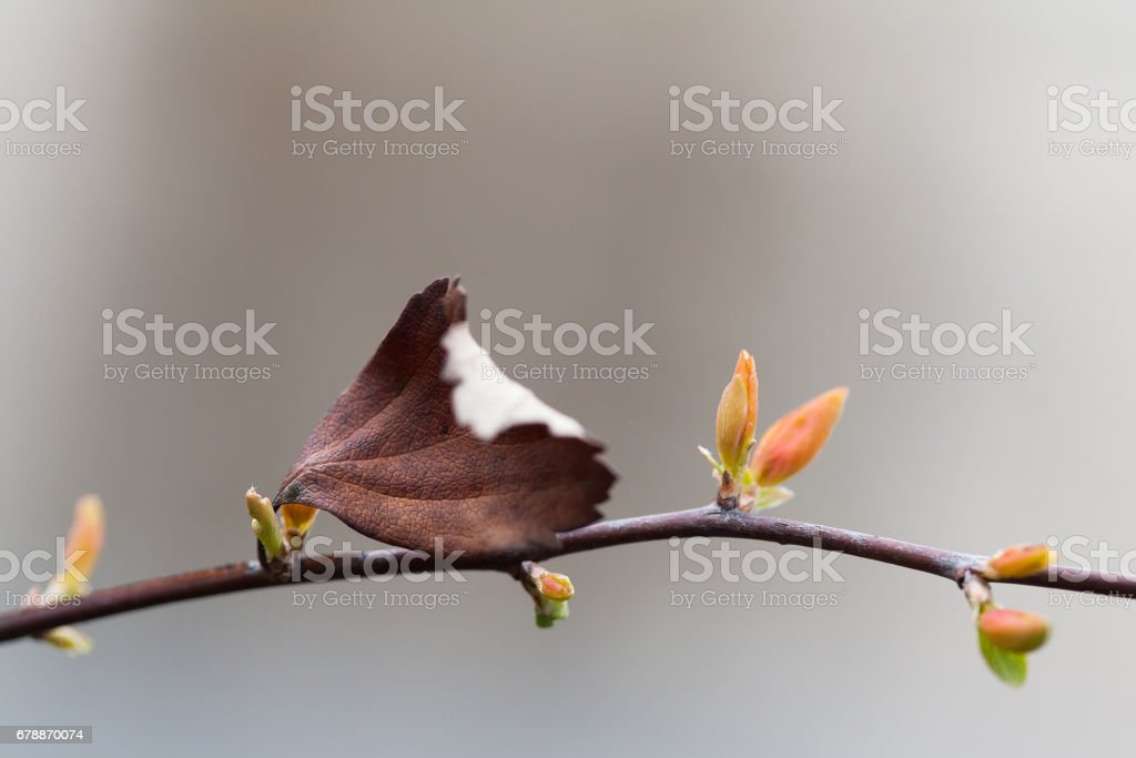 Autumn spring season connection concept. Beautiful tree twig with dried brown leaf and young red green buds. Macro view, selective focus, shallow depth field photo libre de droits