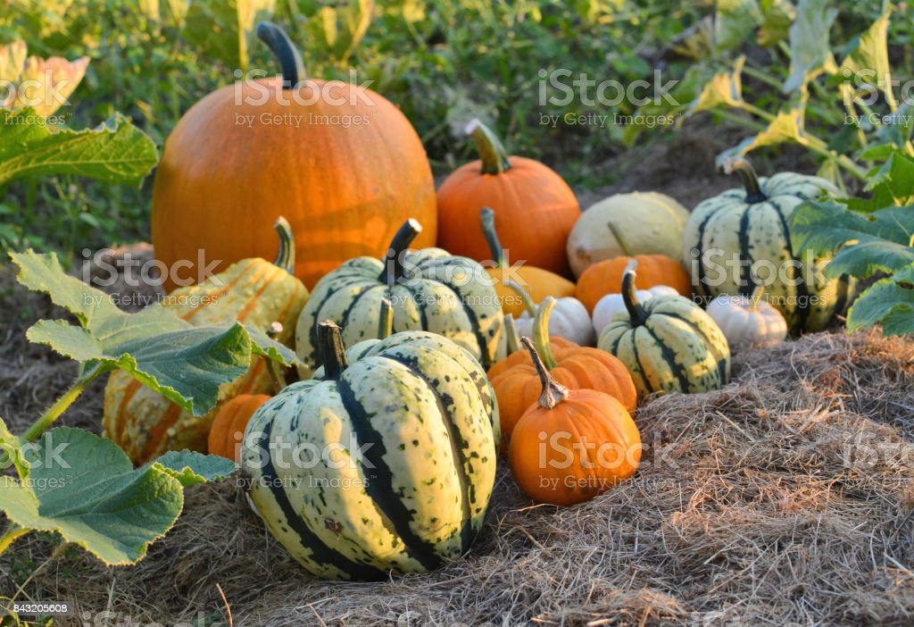 Autumn squashes in the garden stock photo